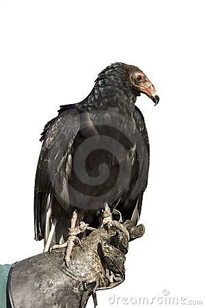 Free Turkey Vulture Stock Photo - 21674600