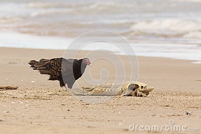 Turkey Vulture Examining a Dead Lake Sturgeon