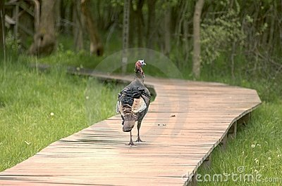 Turkey Walking