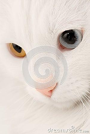 Turkish Angora Cat Macro