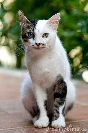 Free Turkish Van Cat Royalty Free Stock Images - 15791309