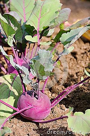 Turnip cabbage