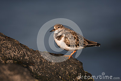 Turnstone, Arenaria interpres