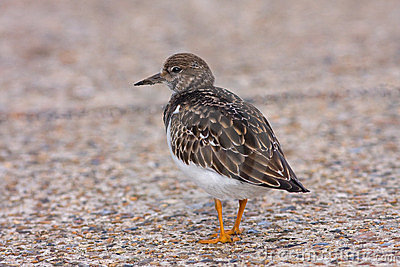 Turnstone bird in Deal Kent UK
