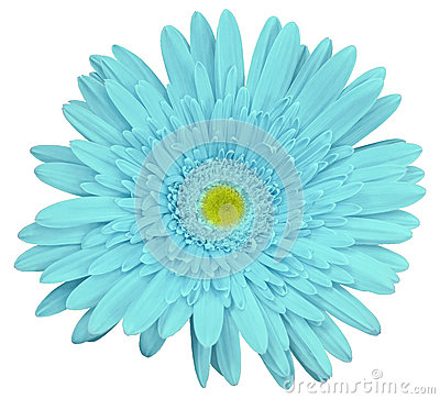 Free Turquoise Gerbera Flower, White Isolated Background With Clipping Path.   Closeup.  No Shadows.  For Design. Royalty Free Stock Image - 90625416