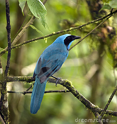 Turquoise Jay - Mindo Cloud Forest - Ecuador