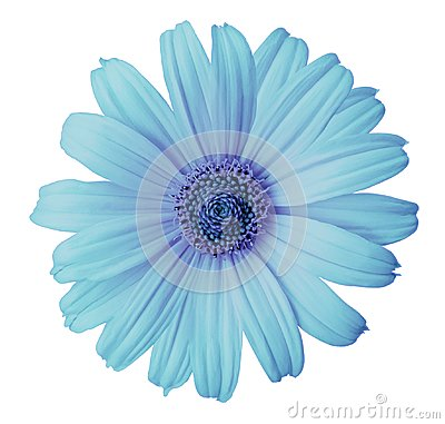 Free Turquoise-violet Daisy Flower On A White Isolated Background With Clipping Path. Flower For Design, Texture,  Postcard, Wrapper. Royalty Free Stock Photo - 106105995