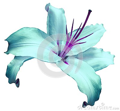 Free Turquoise-violet   Flower  Lily On White Isolated Background With Clipping Path  No Shadows. Closeup. Flower For Design, Texture, Stock Photos - 105579173