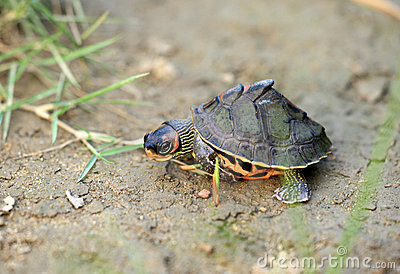 Turtle Stock Images - Image: 15832684