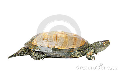 The Turtle Royalty Free Stock Photography - Image: 25872237