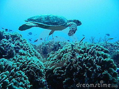 Turtle Above Reef