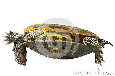 Turtle acrobat