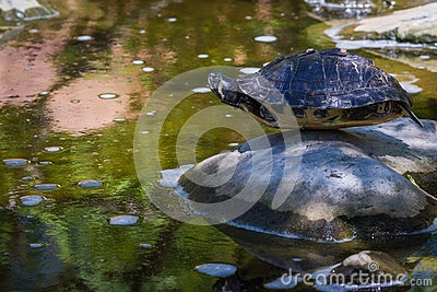 Turtle balancing on a rock