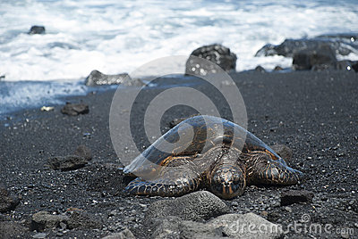 Turtle on black sand beach