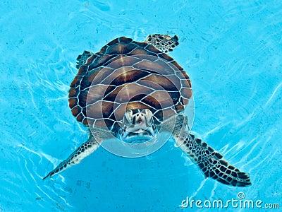 Turtle at the Cayo Largo Turtle Farm in Cuba