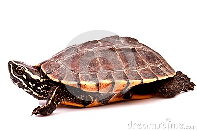 Turtle  crawl on white background