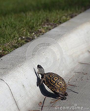 Turtle crosses road