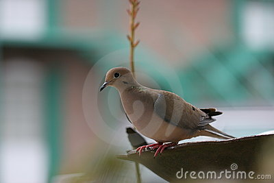 Turtle Dove on bird bath.
