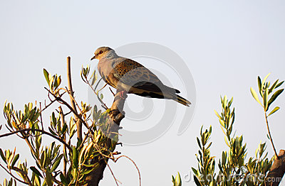 Turtle dove on olive branch