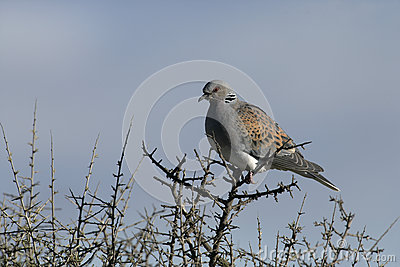 Turtle dove, Streptopelia turtur