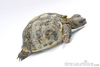 Turtle Emma