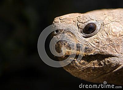 Turtle Face