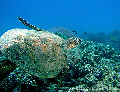 Turtle in Hawaii