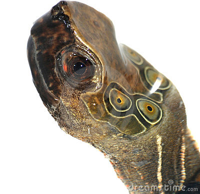 Free Turtle Head Stock Images - 10849364