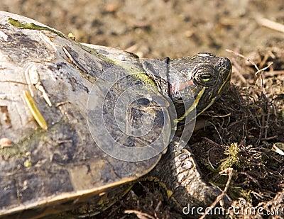 Turtle Head Close-Up