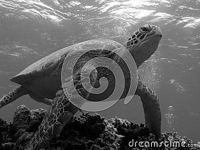 Turtle Leaving Bommie