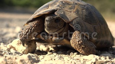 Turtle in Natural Environment, Walking Exotic Turtle in Nature, Reptile Close up.  stock video footage