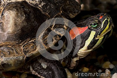 A turtle red eared slider