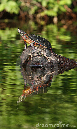 Turtle reflection in Maine