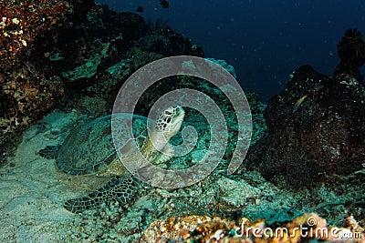 Turtle resting - Maratua atoll