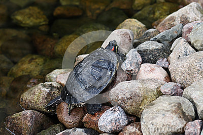 Turtle on rocks