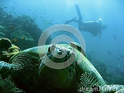 Turtle scuba divers sipadan borneo