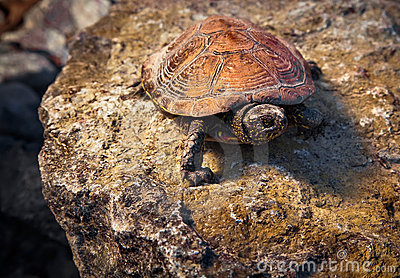 Turtle on the stone