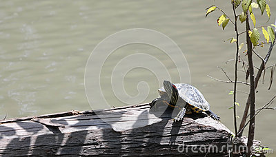 Turtle sunning itself