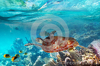 Turtle in the tropical water of Thailand