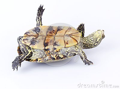 Turtle upside down