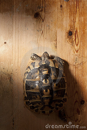 Turtle on Wood