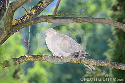 Turtledove slumbers after the preening