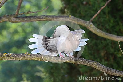 Turtledove spreading its wings and tail