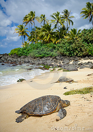 Turtles basking in the sun on oahu