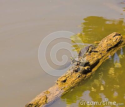 Turtles Climbing on Log