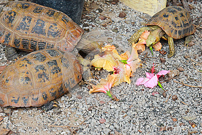 Turtles eating flower