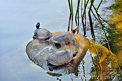 Turtles in the pond