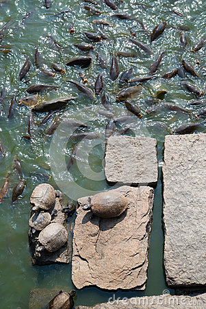 Turtles on rocks and many carp