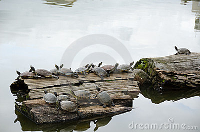 Turtles sunbathing on wood