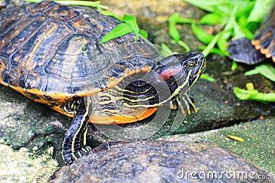 Turtles (Trachemys scripta elegans)